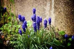 Traubenhyazinthen / Muscari