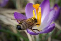 Biene auf Krokus