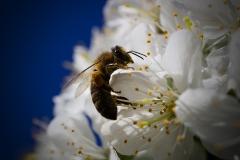Wildbiene auf Kirschblüten