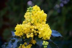 Gelbe Heckenblüte