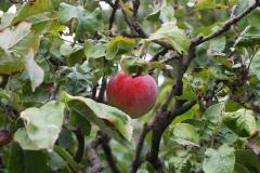 Reifer Apfel